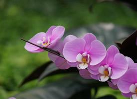 美麗的蝴蝶蘭圖片欣賞