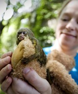 侏儒狨猴僅12厘米長 十二生肖猴