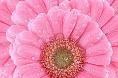 粉色太陽花圖片