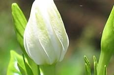 高清白色梔子花圖片