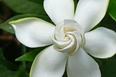 白色梔子花圖片