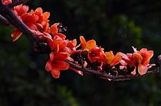 红色木棉花高清图片下载